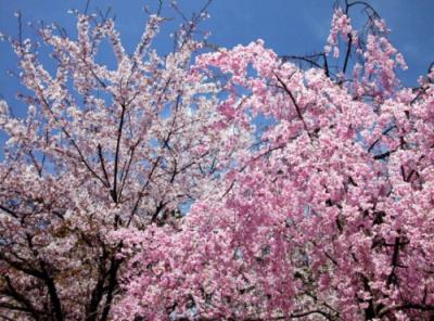 樱花哪里有供应|樱花