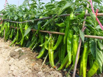 耐寒尖椒種子批發//耐寒尖椒種子價格