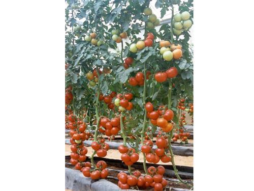 大红西红柿种子价格_哪里购买大红番茄种子