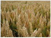 抗寒小麦种子