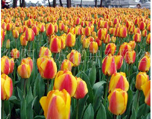 来东方花卉,买优惠的郁金香种球 四川郁金香种子批发