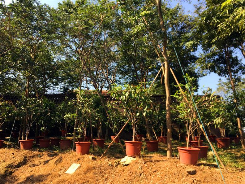 交趾黄檀价格|在哪能买到好种植的大红酸枝树苗