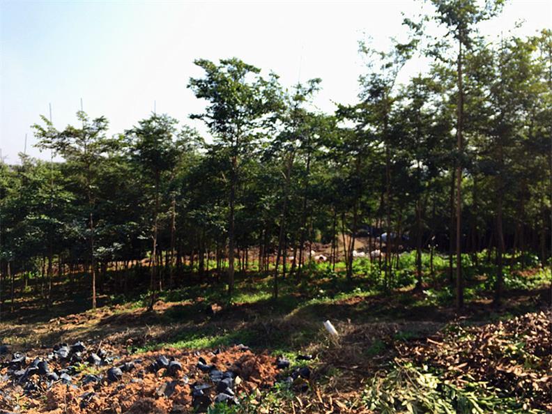 价格合理的大红酸枝|品种好的大红酸枝树苗推荐