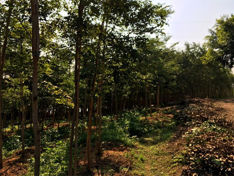 广东大红酸枝,哪里有卖品种好的大红酸枝树苗