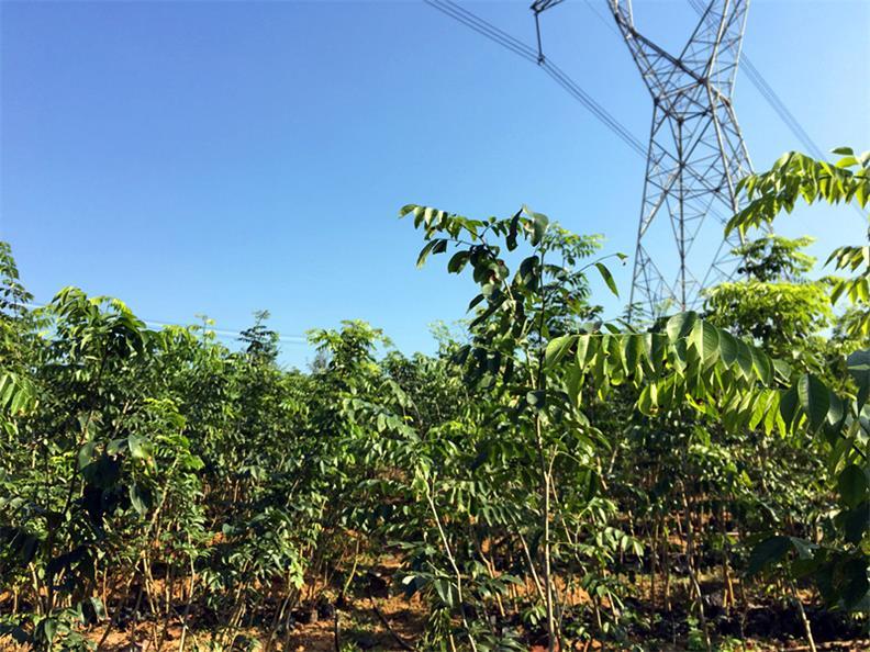 肇庆品种好的黄花梨中苗供应|价格合理的黄花梨木