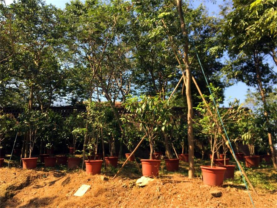 金花茶-在哪能买到好种植的金花茶苗
