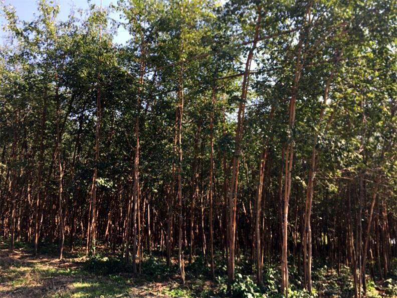 檀香苗|买印度檀香苗认准景丰苗木场