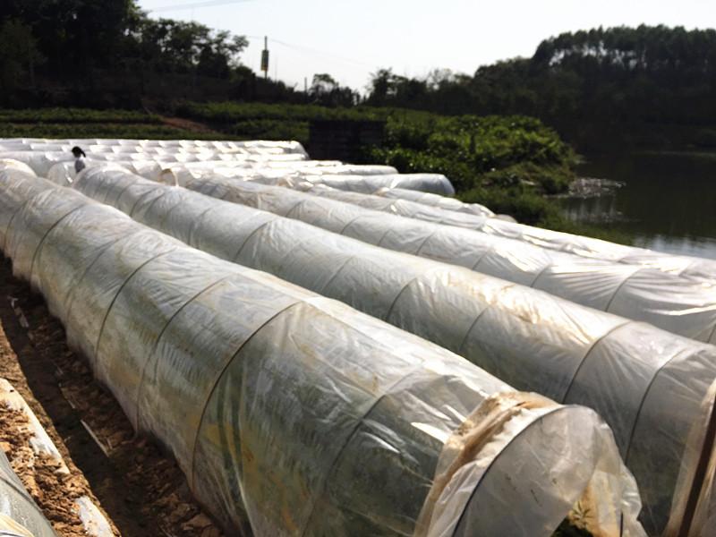 印度檀香供应_肇庆品种好的印度檀香苗供应