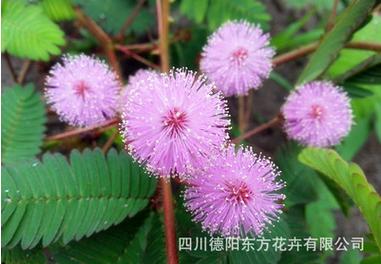 可靠的盆栽含羞草批发商-草花种子厂家