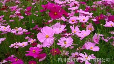 专业的组合景观野花种子报价-野花批发