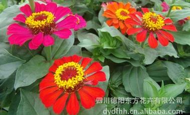東方花卉提供有品質的組合景觀野花種子,野花批發