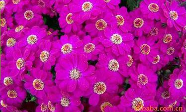 德阳高品质矮瓜叶菊种子花卉出售|瓜叶菊种子哪家好