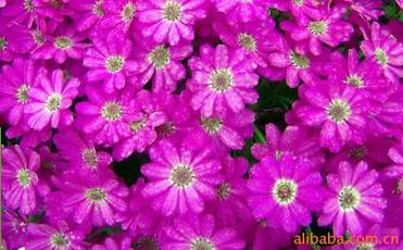 瓜叶菊种子价格|靠谱的矮瓜叶菊种子花卉供应商推荐