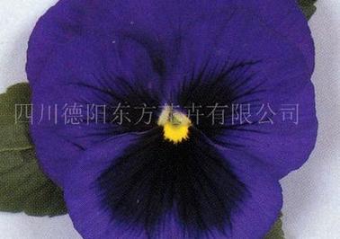 东方花卉优惠的三色堇种子出售 四川三色堇种子哪里有卖