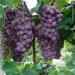 葡萄苗价格-哪里能买到品种好的葡萄苗