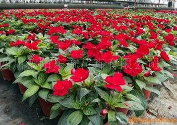 鲜切花种子供应_高质量的新几内亚凤仙种子东方花卉供应