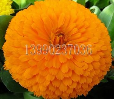 金盞菊價格范圍 性價比高的橙色品種金盞菊種子就在東方花卉