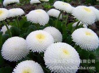 中國雛菊 哪里有提供優惠的雛菊種子