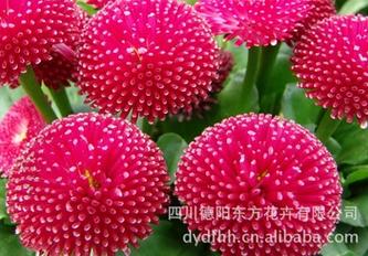 雛菊種子怎么種-物超所值的雛菊種子東方花卉供應