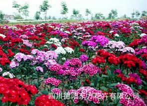 價位合理的美國石竹野花種子就在東方花卉-石竹種子供應商