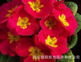 東方花卉有品質的歐洲報春花種子出售-正品歐洲報春種子