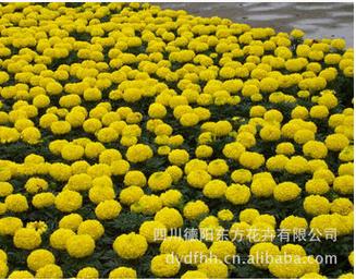 德阳可信赖的中国报春花种子经销商 万寿菊种子哪家便宜