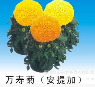 萬壽菊種子廠家-東方花卉銷量好的中國報春花種子供應