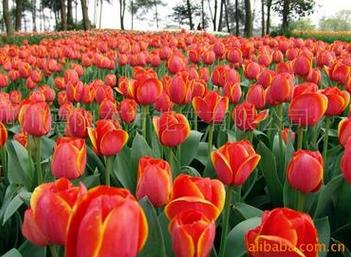 甘肅郁金香種球,東方花卉有品質的盆栽郁金香種球