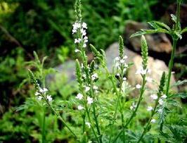 青州马鞭草-山东有品质的马鞭草生产基地