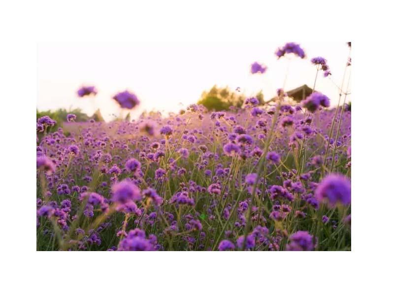 苏州马鞭草_想要选购马鞭草就来茂林花卉苗木园艺场
