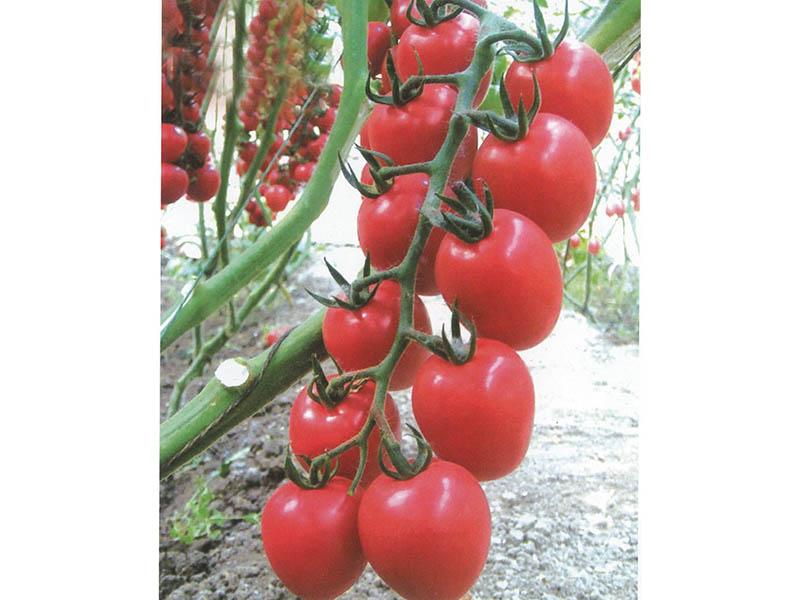山东西红柿种子-知名的西红柿种子供应商