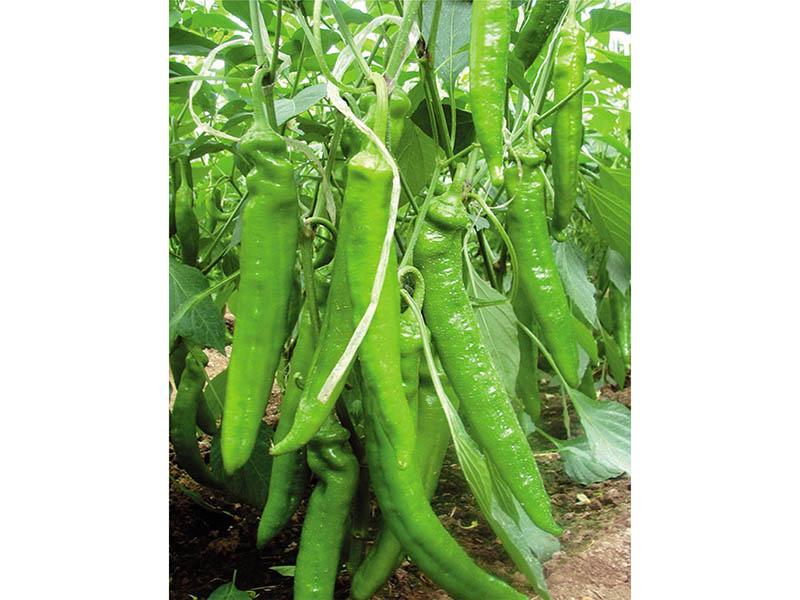 彩椒种子销售价格-潍坊郁金香彩椒种子专业供应商