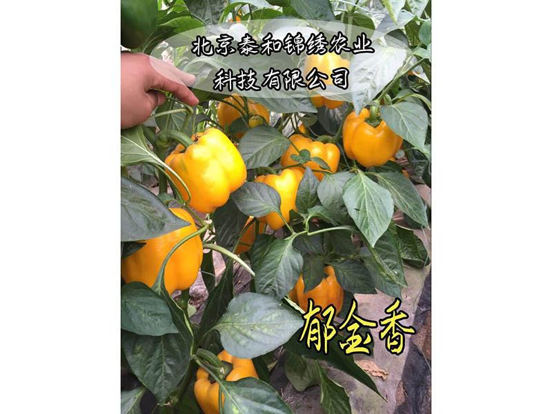 五彩椒种子批发价格|哪里购买郁金香彩椒种子