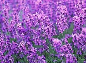 价格实惠的熏衣草种子东方花卉供应|熏衣草专卖店