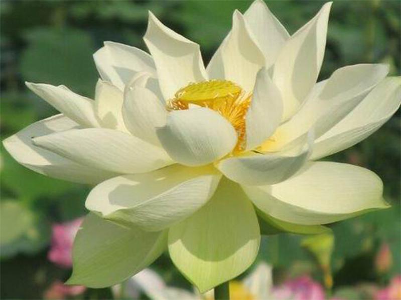北京荷花 在哪能买到好种植的荷花苗