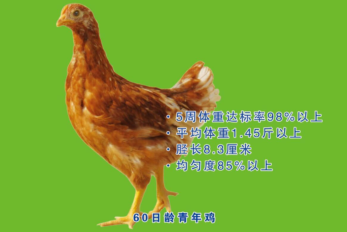海兰褐青年鸡多少钱一只-高性价青年鸡沙河湾农庄供应