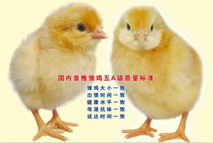 雞苗多少錢-供應漯河銷量好的青年雞