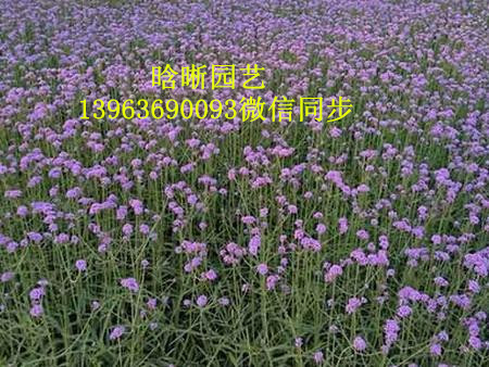 紫红色柳叶马鞭草_物超所值的马鞭草潍坊哪里有