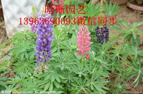 羽扇豆基地-来晗晰花卉-买超值的鲁冰花/羽扇豆