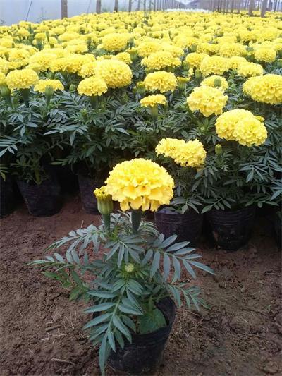 万寿菊哪家好-馨飞花卉苗木销量好的万寿菊出售
