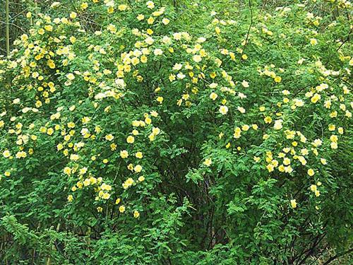 供应辽宁口碑好的彩叶苗木|茶条槭种子批发价格