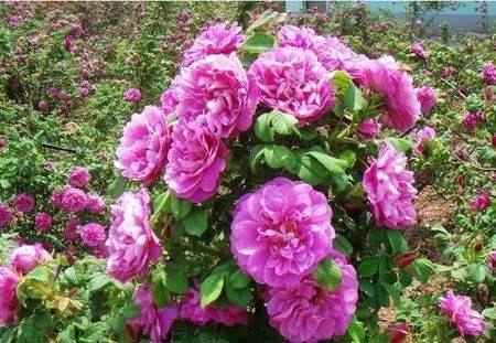 三叶地锦批发价格|彩叶苗木基地出售划算的月季玫瑰