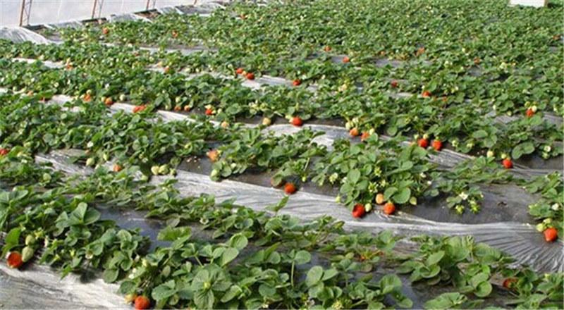 草莓�钅ど�产厂家-山东实惠的草莓膜