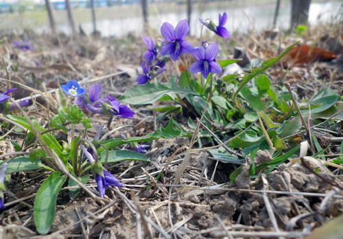 青州紫花地丁-优惠的紫花地丁推荐