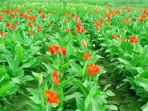 揭阳湿生植物-品种好的湿生植物推荐
