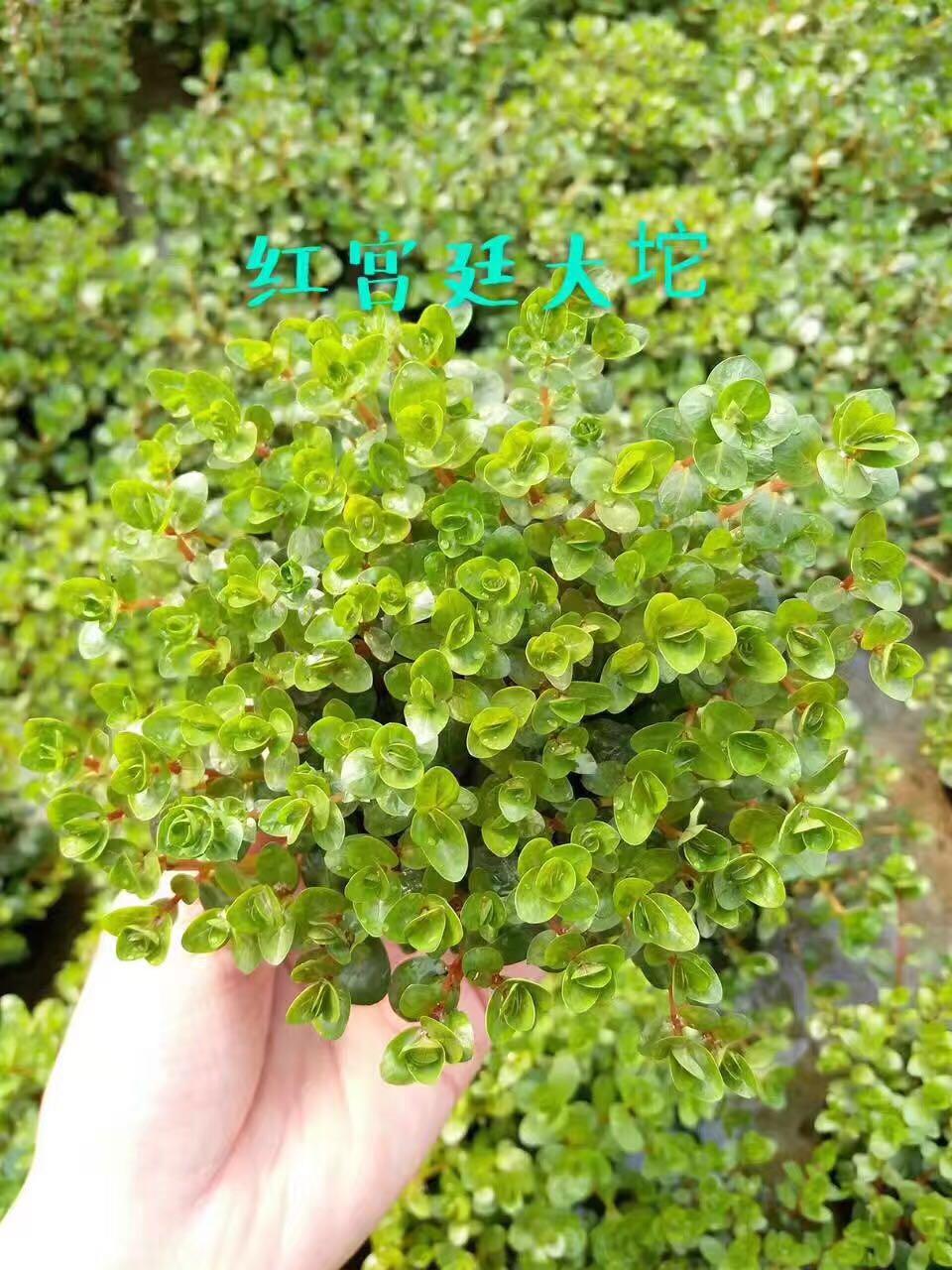 廣州紅椒,供應廣州新品吳氏大紅葉大托水草