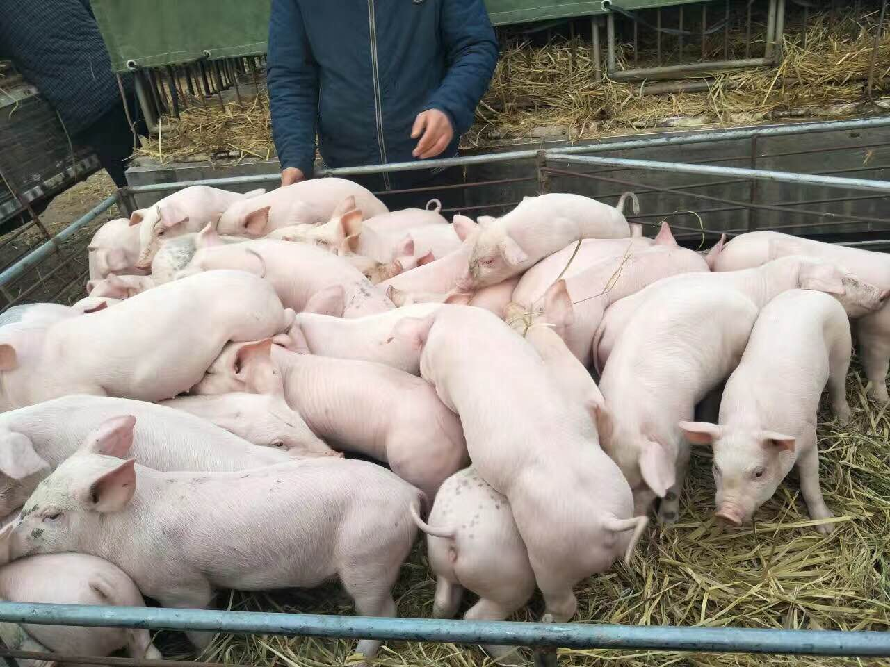 新美系种猪,新美系杜洛克公猪、母猪;长白、大白种猪