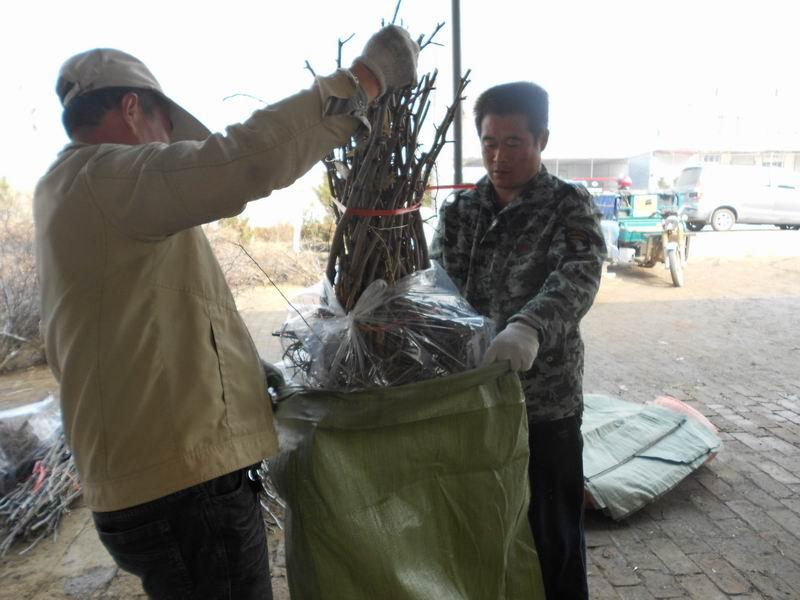 5-8公分二代冬枣苗批发价格,买冬枣苗认准向阳红枣业