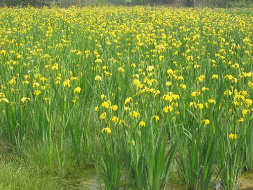 供应广东易成活的水生植物种苗-水生植物种苗专业销售