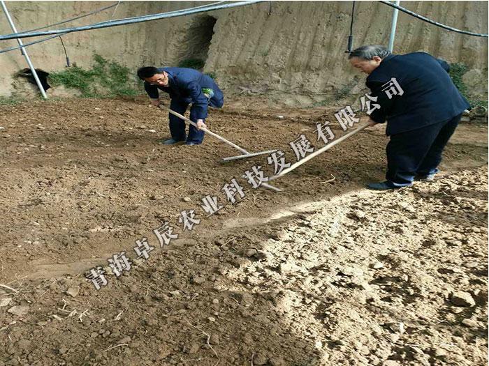 青海羊肚菌供应商推荐 羊肚菌种植